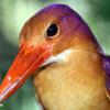 Kingfisher, Sabah, Malaysia