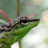 Frog, Sabah, Malaysia