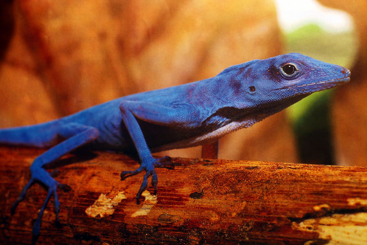 The blue anole, one of Isla Gorgona's best-known endemic species.