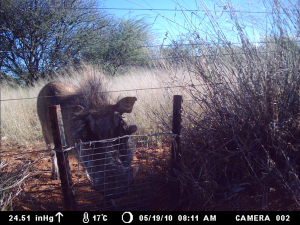 A warthog in the process of using a swing gate. Photo credit: Cheetah Conservation Fund.