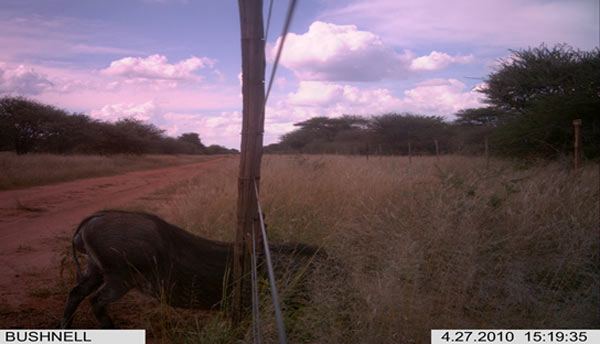 A warthog about to use a fully-functioning swing gate. Photo credit: Cheetah Conservation Fund.