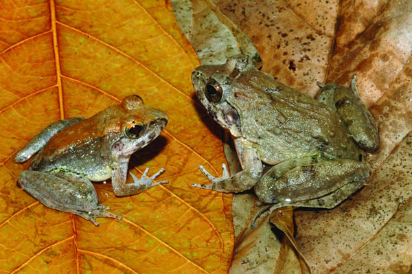 The newly described frog L. larvaepartus (male, left, and female) from the island of Sulawesi in Indonesia. It is the only frog known that gives direct birth to tadpoles. Photo credit: Jim McGuire