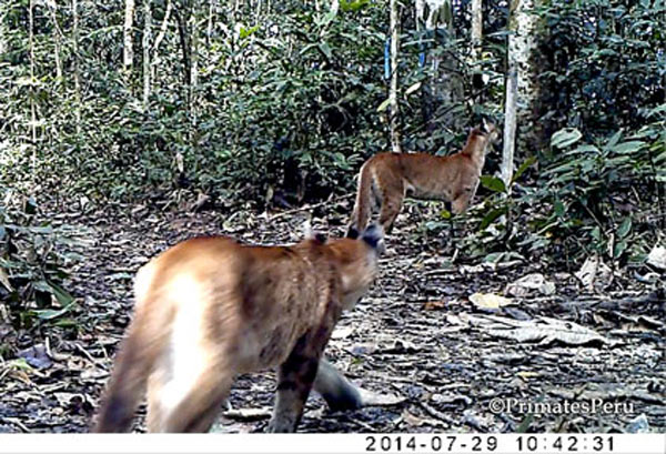 Two pumas captured on a camera trap during the summer 2014 research season, the offspring of a pregnant cat noticed on other traps a few weeks earlier. Photo credit: PrimatesPeru