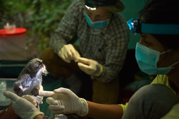 An emperor tamarin (Saguinus imperator) waits for its identity collar, the finishing touches to which are being conducted in the background. All team personnel wear gloves and masks to prevent any kind of disease transmission from humans to the primates or vice versa. Photo credit: Ishaan Raghunandan