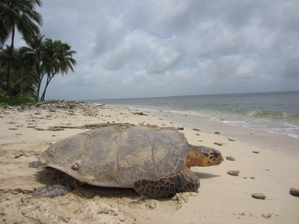 A WCS team in Nicaragua reports a dramatic increase in nesting of critically endangered hawksbill sea turtles in the Pearl Cays region including the highest nest counts since a conservation project began there in 2000. Photo credit: WCS.