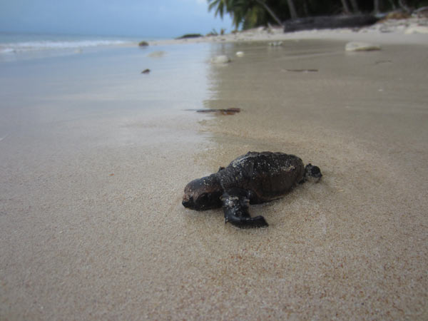 A hawksbill sea turtle hatchling heads towards the sea. This year over 35,000 hatchlings were born in the Pearl Cays: Photo credit: WCS.