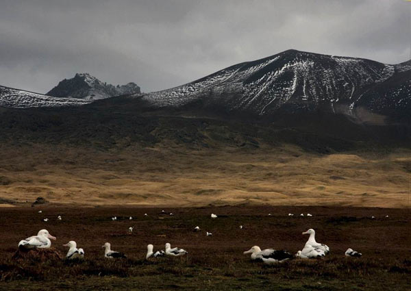 The Albatross in their spectacular natural habitat. Photo credit: Vincent Lecomte