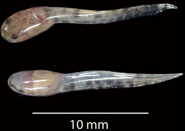 dorsal and ventral views of tadpoles released by a pregnant female at the moment of capture. Photo credit: Desa Uaemate.