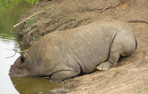 Black rhino killed by poachers. Photo by: Anti-poaching patrol/TRAFFIC.