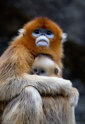 Panda habitat is home to many other threatened species, such as the golden snub-nosed monkey (Rhinopithecus roxellana), which is listed by the IUCN as Endangered. Photo by Giovanni Mari.