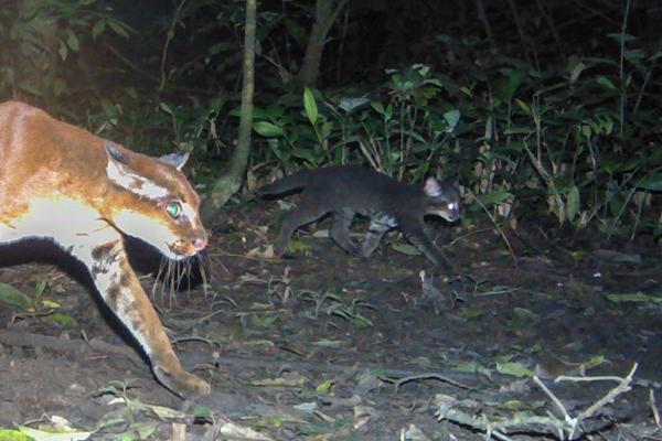 A mother African golden cat with her kitten. Photo by: David Mills/WCS/Panthera.