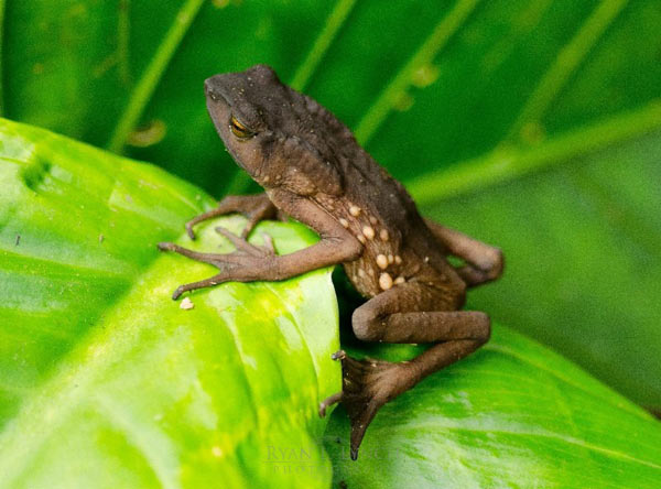 Adult Tandayapa Andean toad (Andinophryne olallai). Photo by: Ryan Lynch.