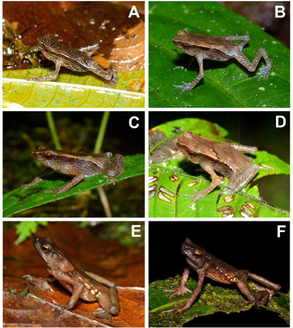 The first published color photos of live Andinophryne olallai individuals across different age classes. (A-B) Froglets, (C-D) Juveniles, (E-F) Adults. Photos by: Lynch et al.