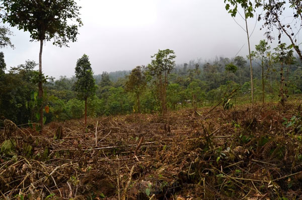 Deforestation in action in Manduriacu, Imbabura Province, Ecuador, less than one kilometer from the recently discovered Tandayapa Andean toad population. Photo by: Lynch et al.