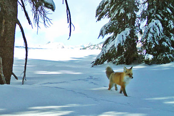 Close up of Sierra Nevada fox caught on camera trap in Yosemite National Park. Photo by: National Park Service.