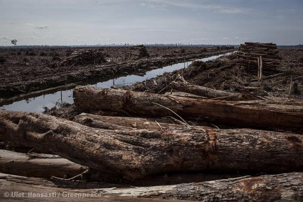 Piles of rainforest logs next to a drainage canal in Nov 2014. Photo courtesy of Greenpeace