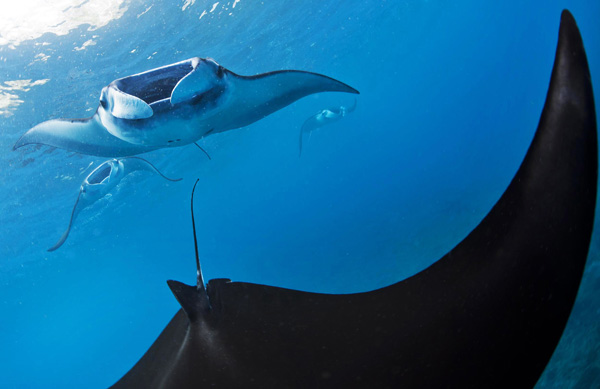 (Manta alfredi) swim through the plankton rich waters off the coast of Nusa Penida, where major ocean currents converge between the Pacific and Indian Ocean.  Photo Credit: Paul Hilton/Greenpeace