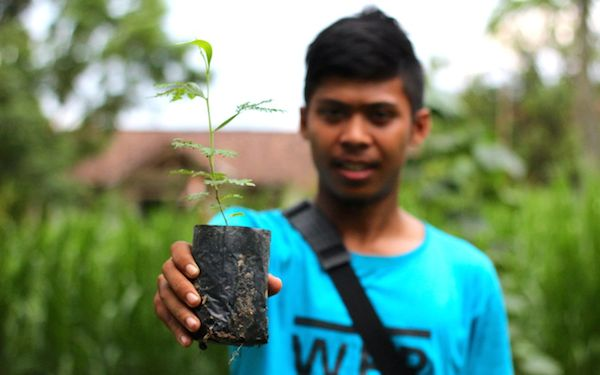Acacia  seedlings are grown and planted in and around communities in Lampung, Sumatra, to relieve logging pressures on natural forest. Photo by Ridzki R. Sigit.
