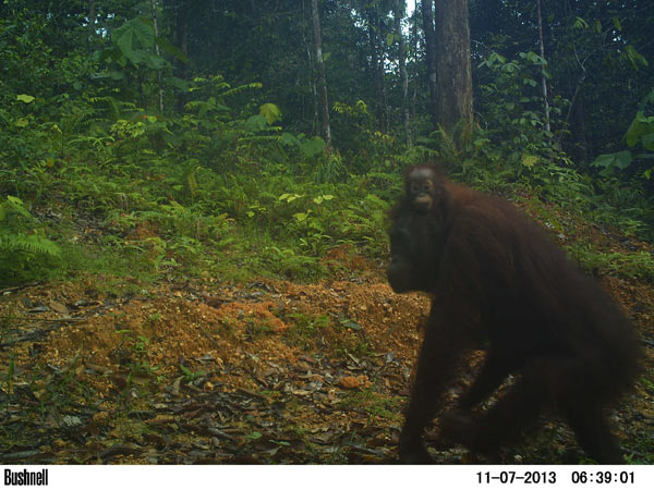 A female orangutan carries her baby down a newly built logging road. Photo credit: Brent Loken.