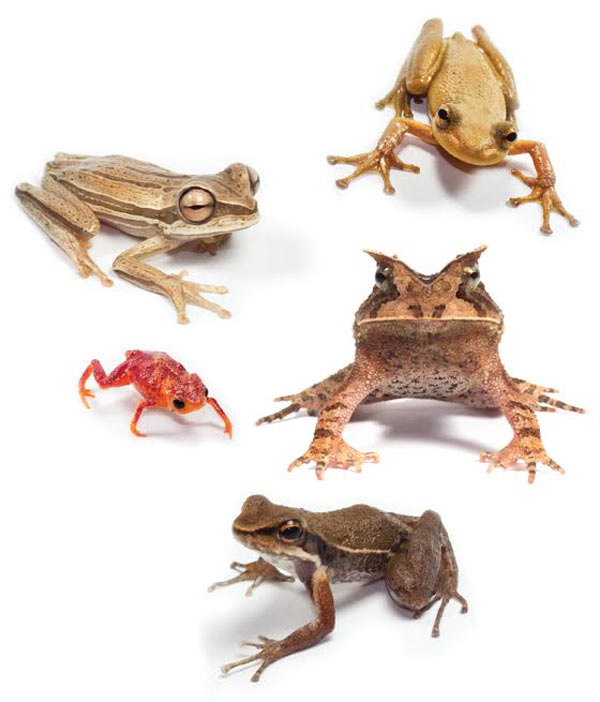 Tropical amphibian species used in the study. Photo credit: Gui Becker