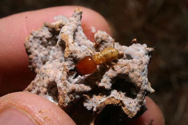 It turns out the tiny termite plays a big role in drylands. Photo by: Robert Pringle.