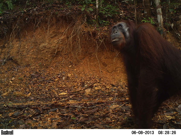 A young male orangutan checks out a camera trap set in a recently logged forest.Photo credit: Brent Loken.