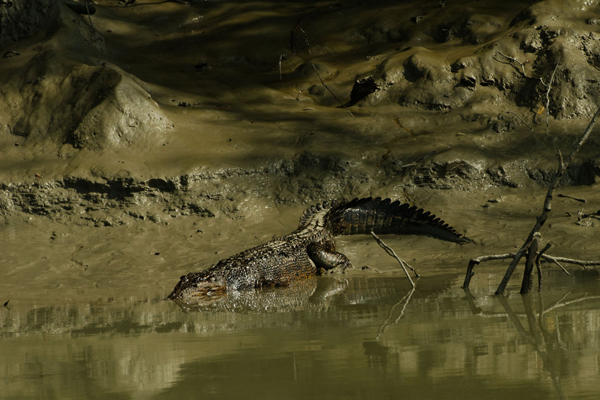 A crocodile wades into oil-tainted waters in the Sundarbans. Photo by: Arati Kumar-Rao.