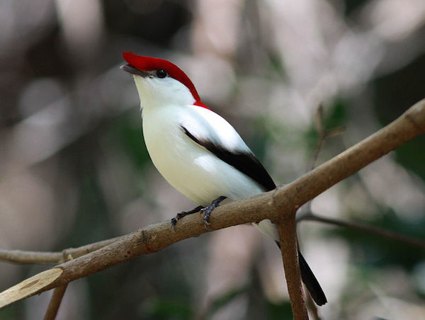 Male Araripe manakins (Antilophia bokermanni) have bright plumage, while the females are olive green in color. Photo by Rick Elis Simpson.