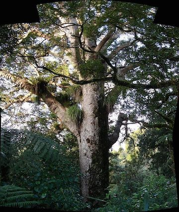 An Agathis australis, a New Zealand kauri species similar to the New Caledonia Kauri (Agathis montana). Photo by Tatiana Gerus.