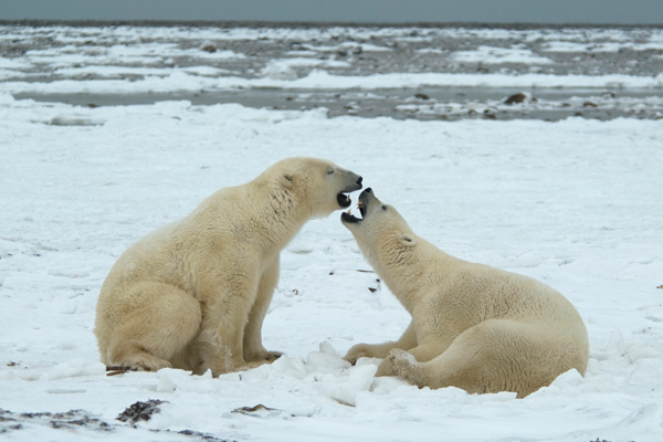 In the 1990s, scientists such as Ian Stirling and Andrew Derocher predicted the demise of polar bears at the southern edge of their range as sea ice retreated. Photo by: Edward Struzik.