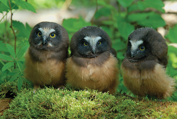 Three saw whet owl chicks. There is no single reason that many birds that migrate to or live year-round in the Arctic are showing signs of stress, but it's clear that climate change is contributing to the problem on a variety of levels. Photo by: Edward Struzik.