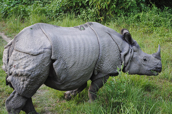 Indian rhino in Bardiya National Park in Nepal. Photo by: Krish Dulal