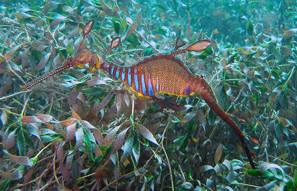 Although known as the common seadragon, this species is Near Threatened. Greg Rouse and Nerida Wilson.