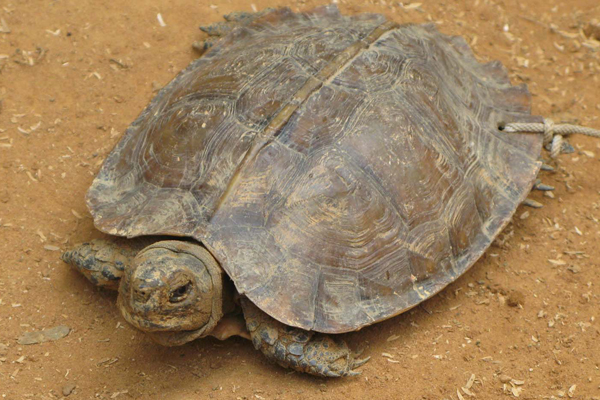 A rare photo of a living Arakan forest turtle. Photo courtesy of Shahriar Caesar Rahman.