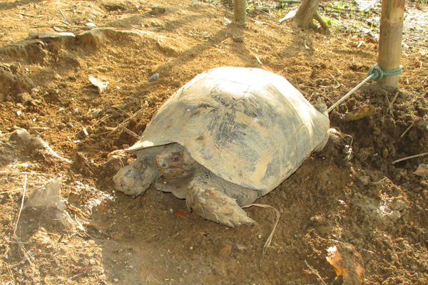 Asian brown tortoise in the possession of a Mro hunter. Photo courtesy of Shahriar Caesar Rahman.