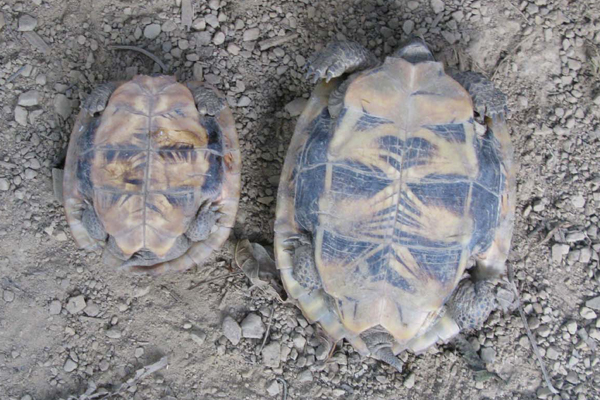 Juvenile Arakan forest turtles.  Photo courtesy of Shahriar Caesar Rahman.