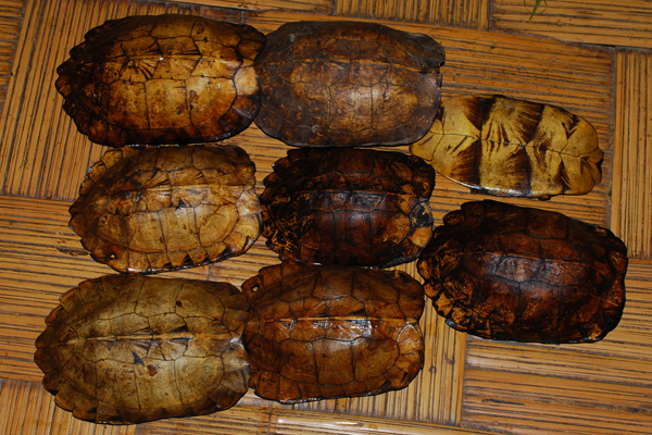 Shells of the Arakan forest turtle.  Photo by: Chirag Roy.