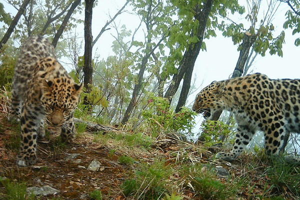 Rare image of two Amur leopards on camera trap. Photo by: WWF.