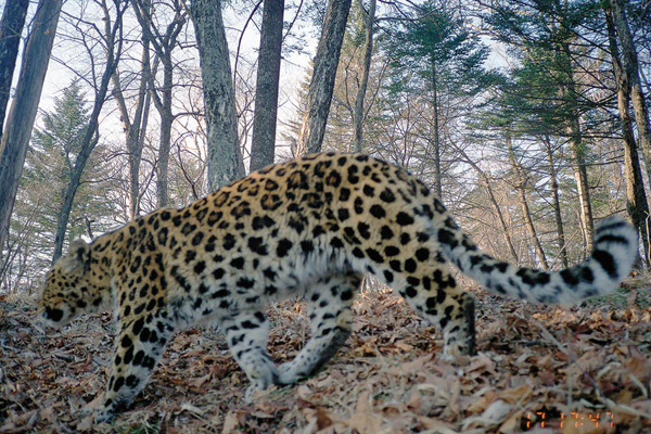 Amur leopard on camera trap. Photo by: WWF.