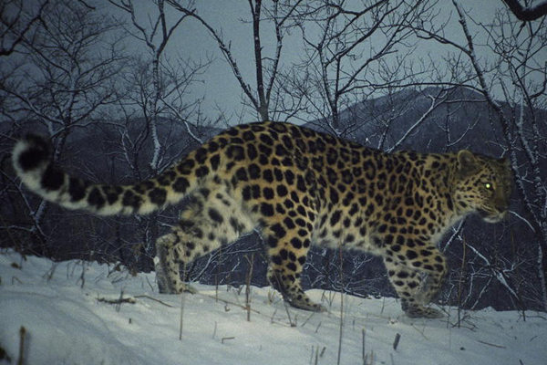 The Amur leopard evolved its thick coat to keep warm in the cold, long winters. Photo by: WWF.