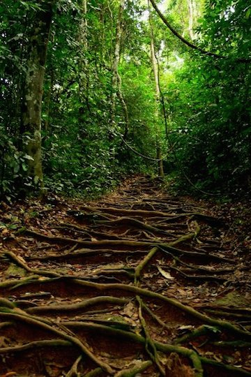 A path though Sarawak montane forest. Photo by Morgan Erickson-Davis.