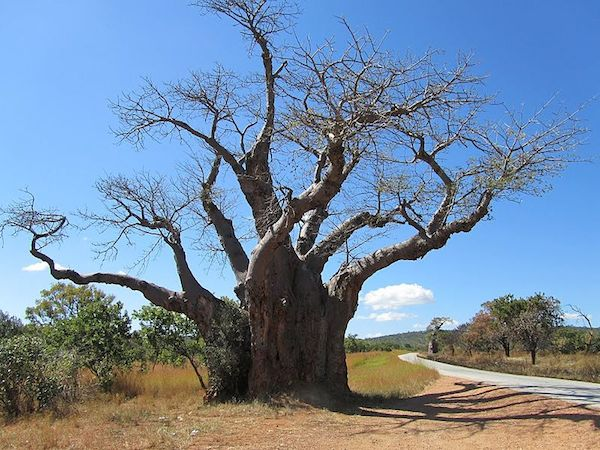 A baobob tree in scrub woodland in Masvingo Province, Zimbabwe. Photo by Kjdhambuza.