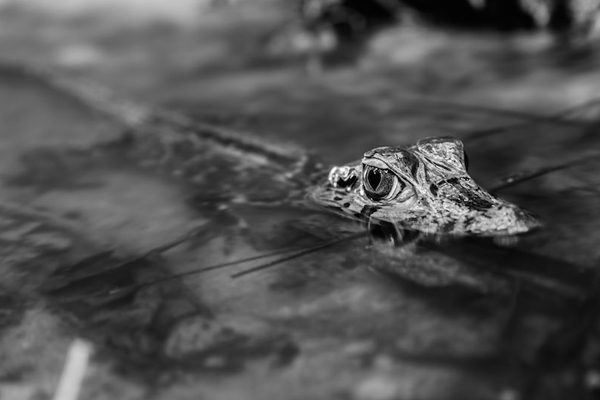 Baby black caiman. Photo by: Declan Burley.