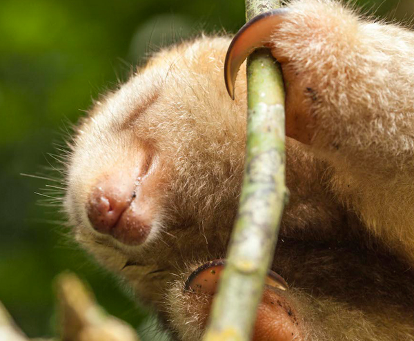 A silky anteater (Cyclopes didactylus) closing its eyes, ready to make its defensive pose. Photo by: Tristan Thompson.