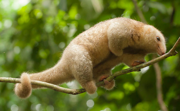 Silky anteater. Photo by: Tristan Thompson.