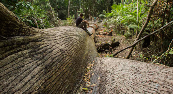 The filmmakers sitting on the massive kapok tree felled for timber. Photo by: Photo by: Tristan Thompson.