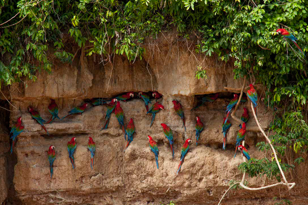 Red-and-green macaws at a clay lick. Photo by: Tristan Thompson.