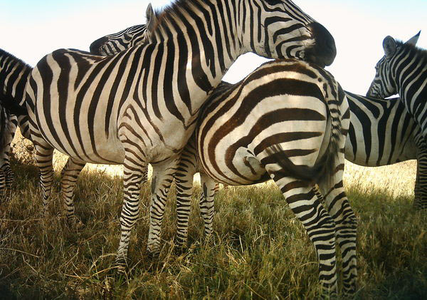 Zebras. Photo by: Snapshot Serengeti.