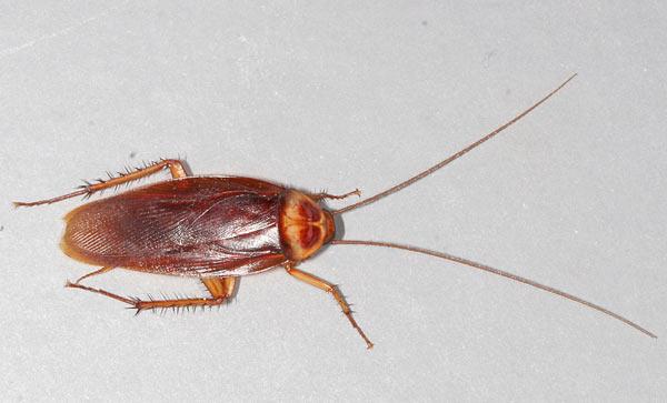American cockroach (Periplaneta americana).
