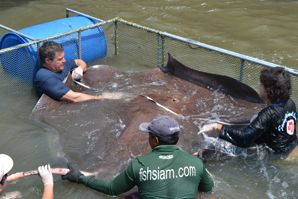 Attempting to measure a giant freshwater stingray is not easy. Photo courtesy of Ocean Mysteries and Jeff Corwin.